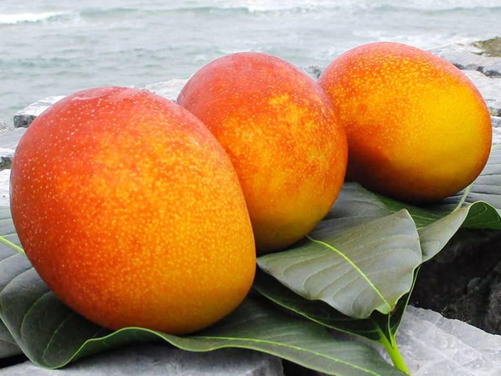 燦々マンゴー2
